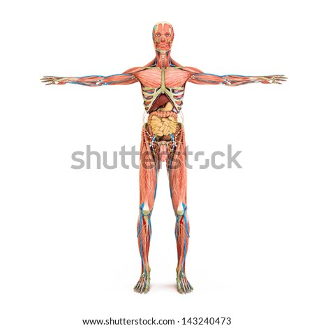 Human anatomy and muscles isolated on a white background - stock photo
