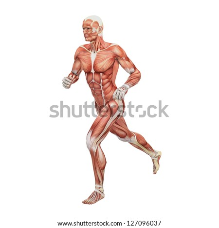 Human anatomy and muslcles - stock photo