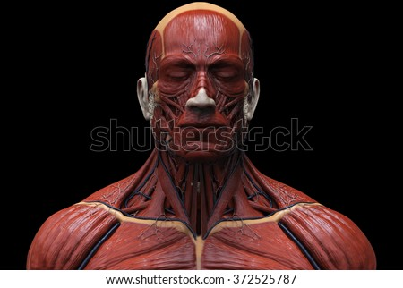 Human anatomy -  muscle anatomy of the face neck and chest  front view  - stock photo