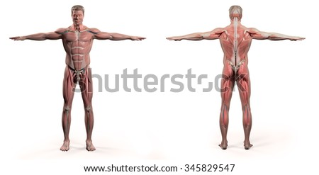 Human anatomy showing front and back full body, face, head, shoulders and torso, bone structure and vascular system on a plain white background. - stock photo