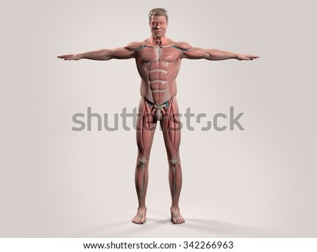 Human anatomy with front view of full body showing muscular system, vascular system and skin on a stylish white background. - stock photo