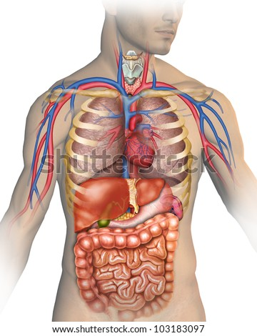 human Body - stock photo