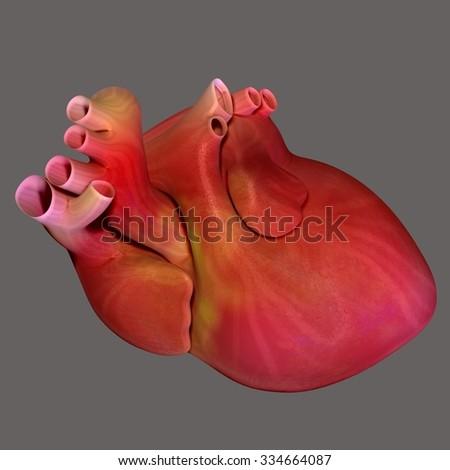 Human body heart - stock photo