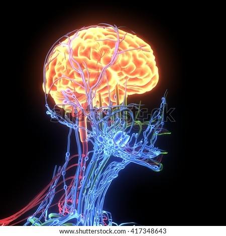 human brain anatomy.3D  - stock photo