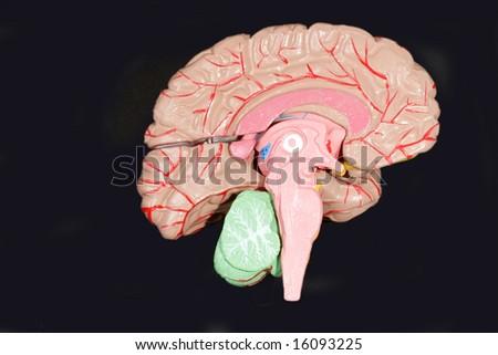 Human Brain Anatomy on  black background - stock photo