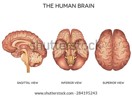 Human brain detailed anatomy from different views, inferior view, superior view and sagittal view. - stock photo