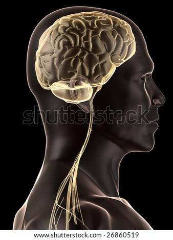 human brain illustration - stock photo