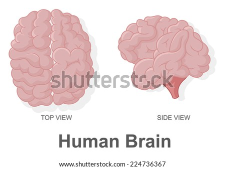 Human Brain in Top View and Side View - stock photo