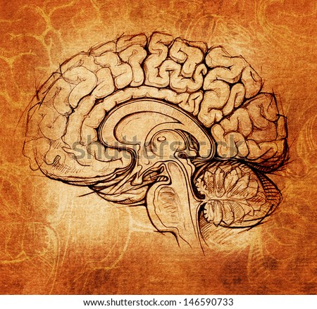 human brain sagittal view medical sketchy illustration, da Vinci style - stock photo