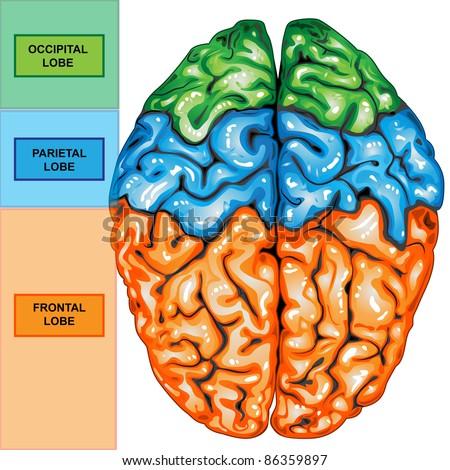 Human brain diagram top view human brain diagram top view photo3 ccuart Images