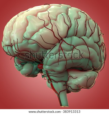Human Brain with Nerves Anatomy - stock photo