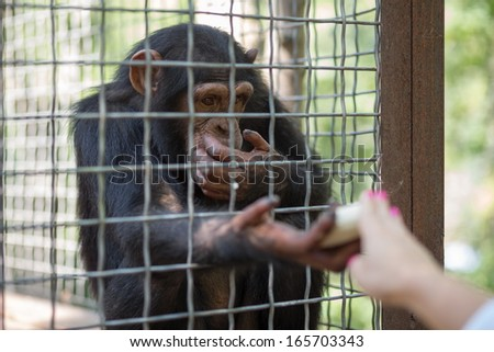 Human feeds banana monkey at the zoo - stock photo