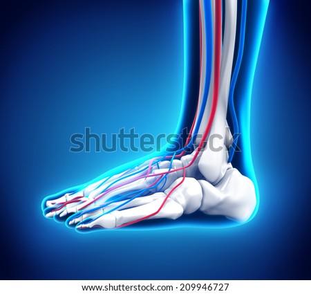 Human Foot Anatomy - stock photo