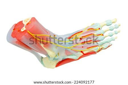 Human Foot Muscles Anatomy Model for study medicine. - stock photo