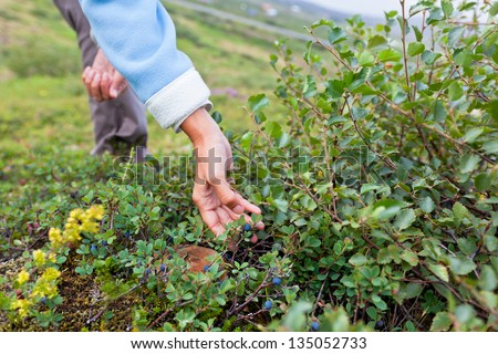 Human Hand and a Bush of a Ripe Blueberry at the Summer Iceland - stock photo