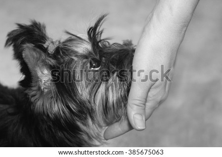 Human hand and cute little Yorkshire terrier puppy looking up with loyalty - stock photo