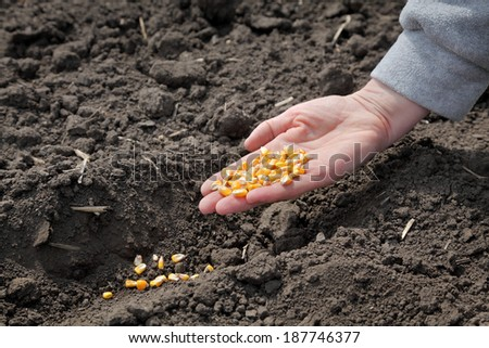 Human hand holding corn seed, sowing time in field - stock photo