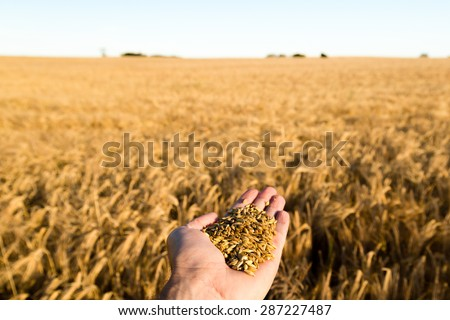 Human hand holding newly harvested grain with blurred grain field in the background. - stock photo