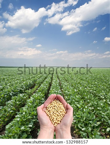 Human hand holding soybean, with field  in background - stock photo