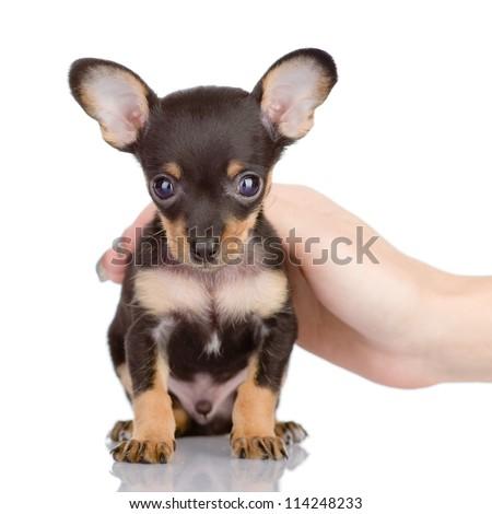 human hand patting little dog. isolated on white background - stock photo
