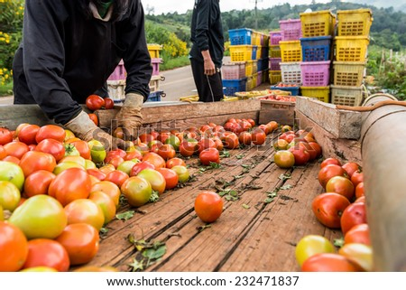 Human hands holding fresh ripe tomatoes. - stock photo