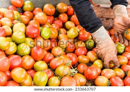 Human hands holding fresh ripe tomatoes. - stock photo