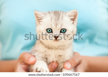 Human hands holding little british domestic silver tabby cat - stock photo