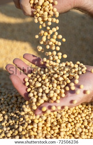 Human hands holding soy beans after harvest - stock photo