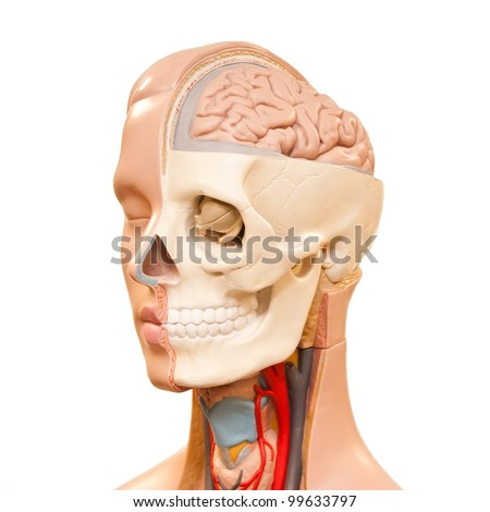 Human head anatomy picture - stock photo