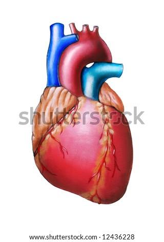 Human heart anatomy. Original hand painted illustration. - stock photo