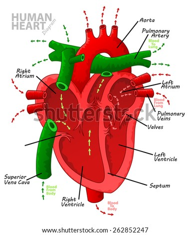 Human heart diagram anatomy - stock photo