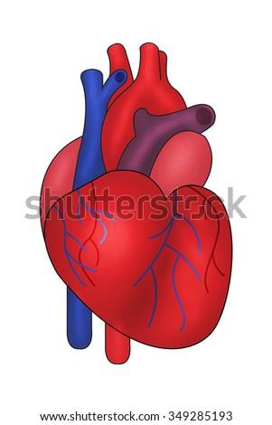 Human heart illustration / heart human / isolated on white - stock photo
