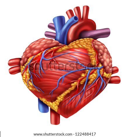 Human heart in the shape of a love symbol using the organ from the body anatomy for loving healthy living isolated on white as a medical health care symbol of an inner cardiovascular organ. - stock photo
