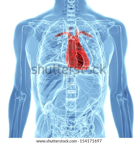 human heart inside human x-ray body isolated on white background - stock photo