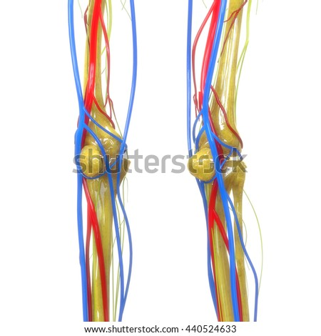 Human Knee Joints with Nervous System. 3D - stock photo