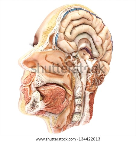 Human Lateral Head Slice Anatomy - stock photo