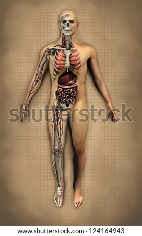 human male anatomy - stock photo