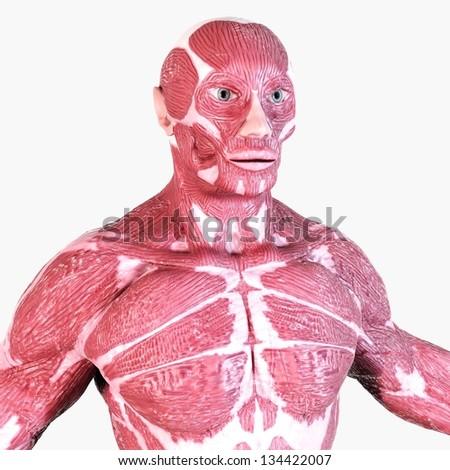 Human Muscle Anatomy - Torso - stock photo