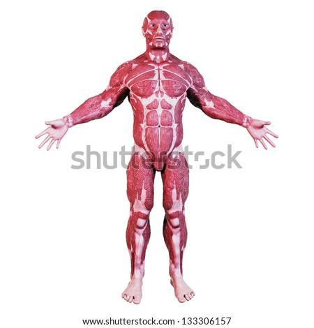 Human Muscular Anatomy - stock photo