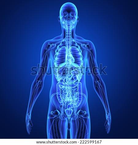 Human Organs - stock photo