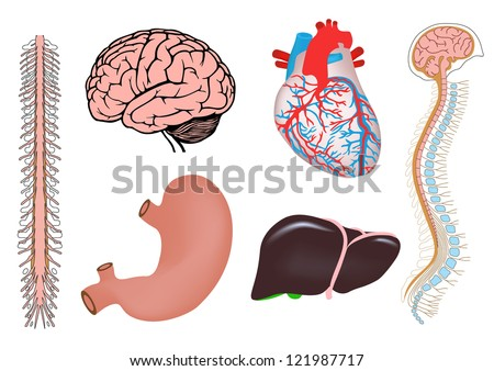 human organs. human heart, liver, stomach, human brian with spinal cord, spinal column and brain. jpg version - stock photo