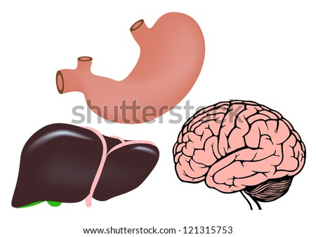 human organs. human liver, stomach and brain. jpg version - stock photo