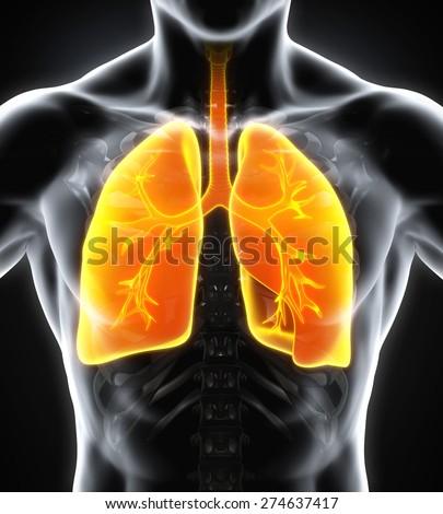 Human Respiratory System - stock photo