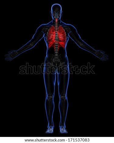 Human skeleton and respiratory system - stock photo