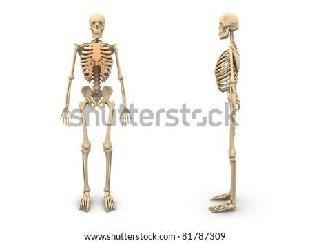 Human Skeleton Front view - stock photo