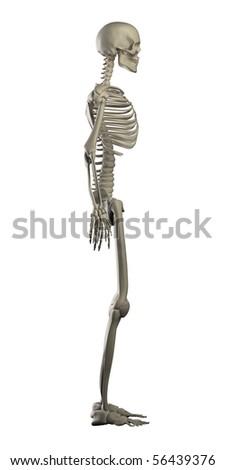 Human skeleton isolated left view - stock photo