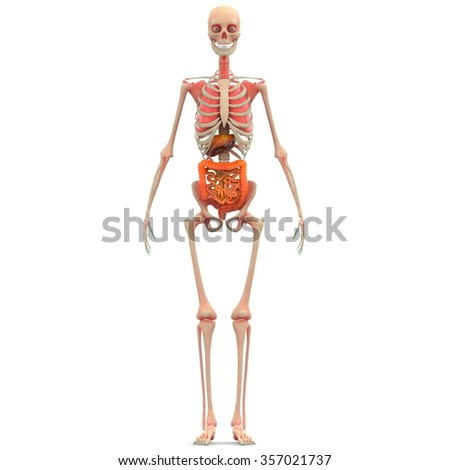 Human Skeleton Lungs, Liver, Large and Small Intestine - stock photo