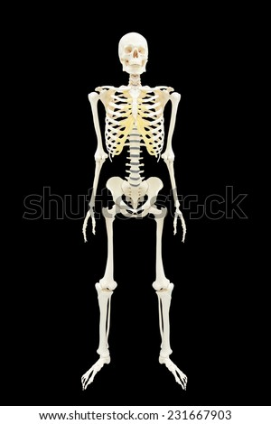 human skeletons anatomy full body isolated on black background with clipping path - stock photo