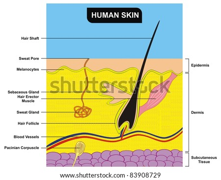 Human Skin Cross-Section - stock photo
