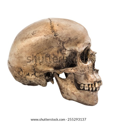 Human skull on isolated white background, side view - stock photo
